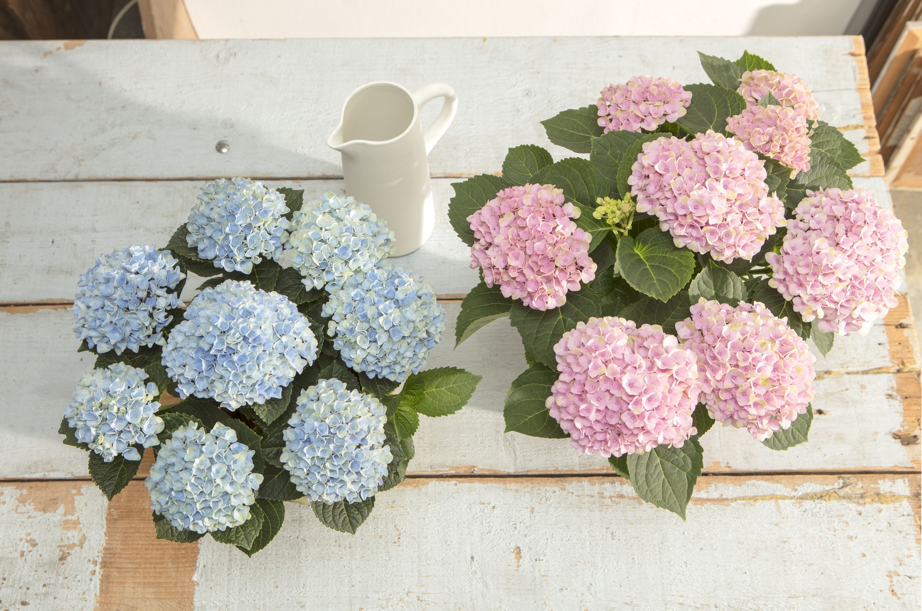 hydrangea_magical_pink_and_blue_table_hr